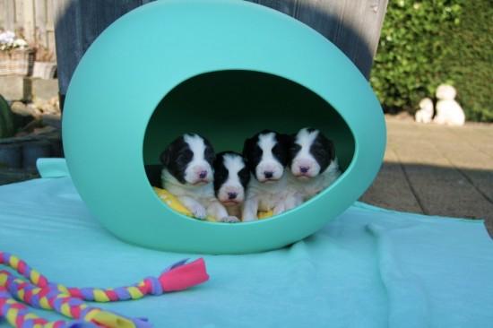 2-weeks-old-puppies-Lasse-Hazel