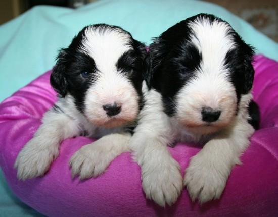 3-weeks-3-days-2-black-puppies