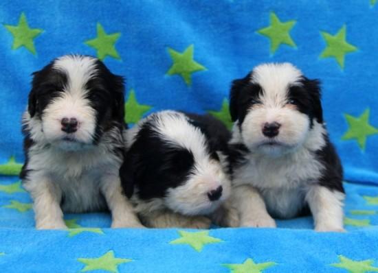 3,5-weeks-3-male-puppies-Lilli