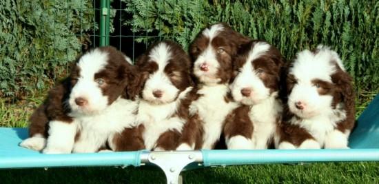 6 weeks 5 puppies