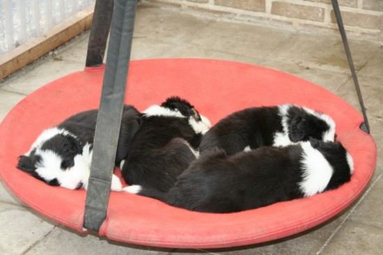 6 weeks Beardiepuppies Lilli Sleeping