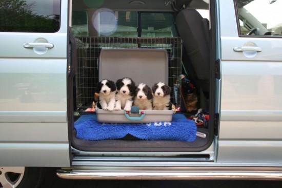 6,5-weeks-farewell-photo-Hazel-puppies
