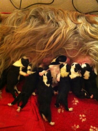 pups-van-Lasse-bij-Rianne-Vink-geb-27-11-12-6,4